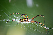 A Giant Orb Weaver, Golden Garden Spider, on a horizontal web waiting for an unwary insect to become entangled.