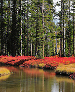 Vivid red understory contrasts the green of the spruce and the reflection adds a little extra to the scene.