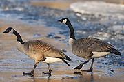 Canada geese on ice. Seine River.  Branta canadensis. <br /> Winnipeg<br /> Manitoba<br /> Canada