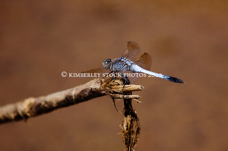 A striking blue butterfly at the Lennard River on the Gibb River Road.