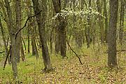 Flowering shrub (cherry) in Seine River Forest.<br />Winnipeg<br />Manitoba<br />Canada