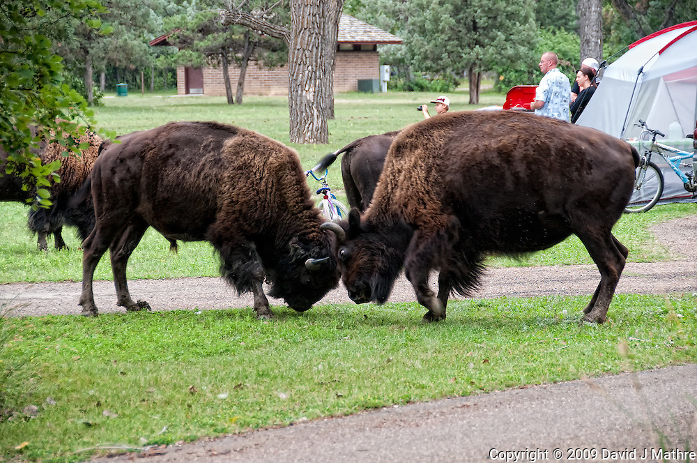 Male Bison Fighting in the Campground at Theodore Roosevelt National Park. Image taken with a Nikon D300 and 18-200 mm lens.