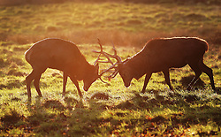 © Licensed to London News Pictures. 31/12/2015. London, UK. Deer lock antlers at first light in Bushy Park. Photo credit: Peter Macdiarmid/LNP