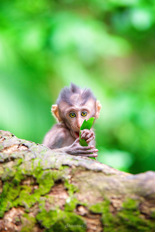 Crab-eating Macaque (Macaca fascicularis), Ubud, Bali, Indonesia<br /> <br /> Also known as the Long-tailed Macaque, is a cercopithecine primate native to Southeast Asia.