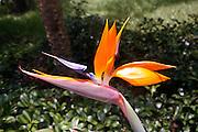 Bird of Paridise in full bloom, Venice Florida 2014