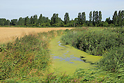 Eutrophication of drainage ditch in marshland Hollesley, Suffolk, England, UK