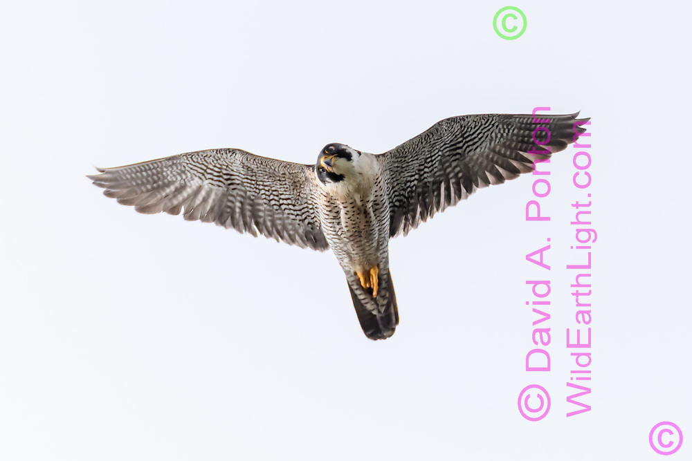 Hunting peregrine falcon looking down as it passes over observer, © 2019 David A. Ponton