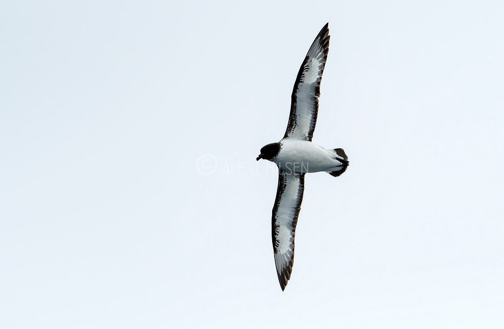 Cape Petrel (Daption capense) from the Drake Passage.