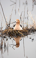 Early May 2016 and nesting has started for the American Avocet with heavy rain in the past few days it makes me wonder if this nesting site will be overrun with water at the Bear River Bird Refuge in northern Utah.