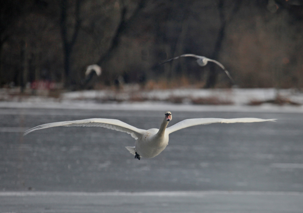 First of three  of a swan landing on some open water on the semi-frozen Prospect Park Lake.