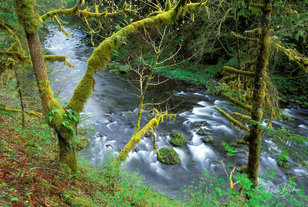 Eagle Creek through moss-covered trees, Columbia River Gorge National Scenic Area, Oregon