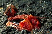 Die gestielten Augen des Fangschreckenkrebses (Lysiosquillina lisa) sind ständig in Bewegung, um Beute oder Feinde auszumachen. | Mantis Shrimp (Lysiosquillina lisa)