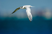 Sandwich Tern, (Thalasseus sandvicensis)in flight, between Fort Myers and Sanibel Island, Florida, USA   Photo: Peter Llewellyn