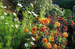 Dahlia 'David Howard with Cosmos bipinnatus 'Purity' in the exotic garden at Great Dixter. Escallonia bifida syn. E. montevidensis in the background