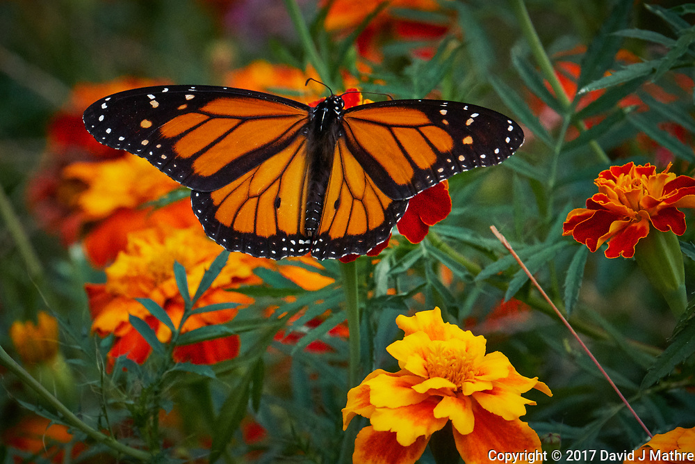 Monarch Butterfly on a Marigold Flower. Autumn Backyard Nature in New Jersey. Image taken with a Fuji X-T2 camera and 100-400 mm OIS telephoto zoom lens (ISO 12800, 400 mm, f/13, 1/1800 sec).