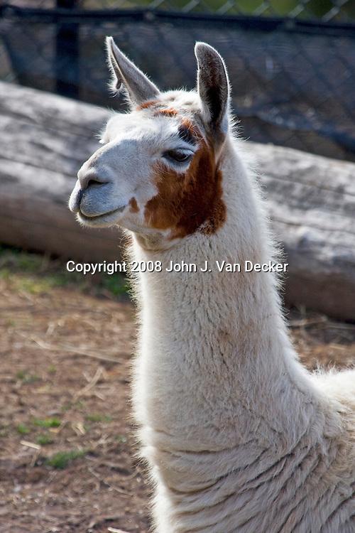 Llama, Lama glama, closeup of head and neck