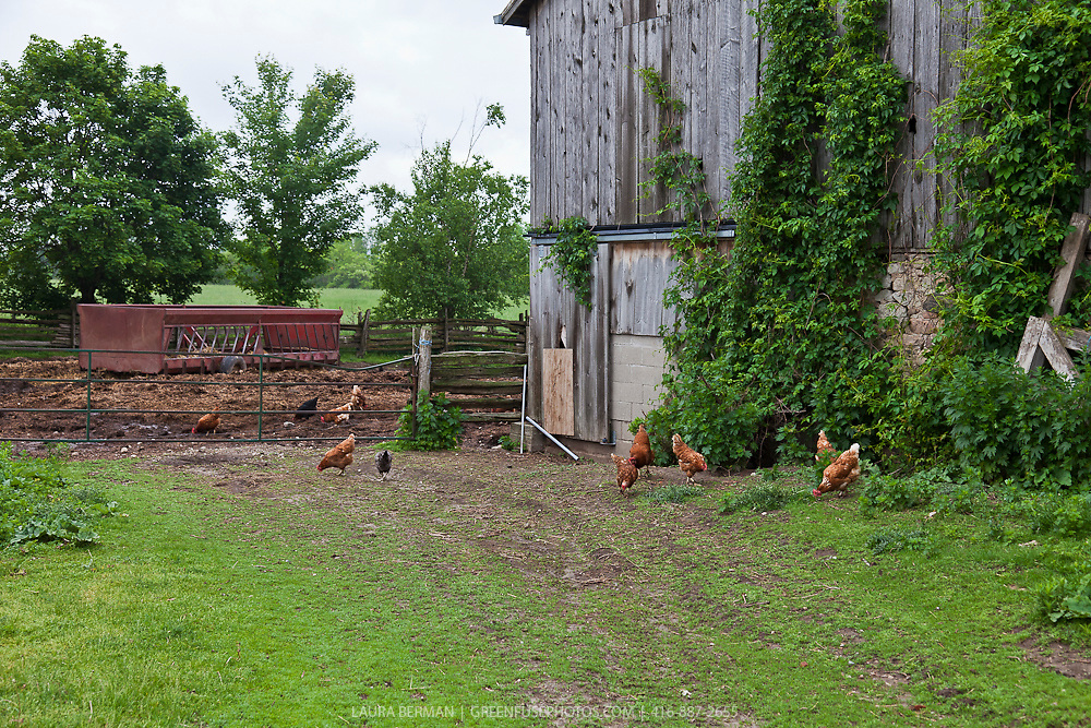 Chickens in a barnyard.