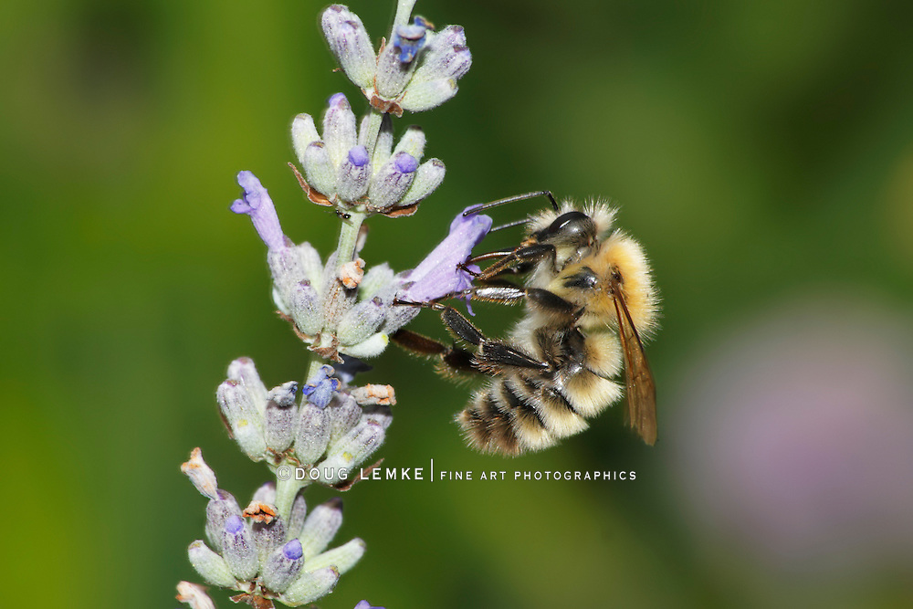 The Beauty Of Summertime On A Micro Scale, The Common Carder Bumblebee, Bombus pascuorum