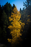 Tree with yellow autumn leaves, Pyrenees, Catalonia