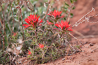 The desert Indian paintbrush is a common springtime bloomer throughout much of the American Southwest. This bright scarlet specimen was found growing in the dry sand on a canyon in Utah's Zion National Park.