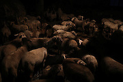 Sheeps are gathered for the night inside the cheese and wool making farm of entrepreneur Giulio Petronio, on the outskirts of the town of Castel del Monte, in the province of L'Aquila in Abruzzo.