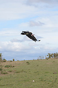Kenya, Masai Mara, Lappet-faced Vulture or Nubian Vulture (Torgos tracheliotus) in flight