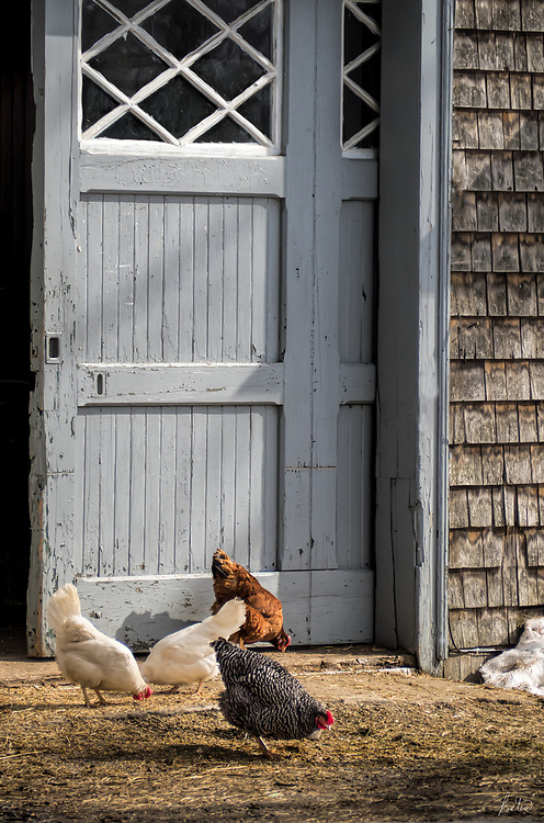 Four Chickens outside the barn door in winter.