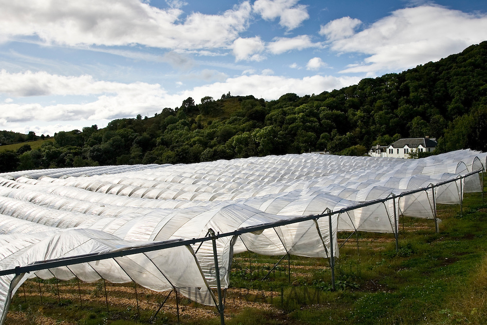 Polytunnels on a fruit farm in Perthshire, Scotland