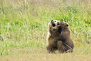 Grizzly Bear Sow and Cub Play Fighting, Lake Clark National Park, Alaska