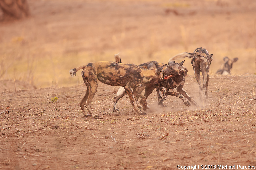 """*50% off all proceeds of photos of wild dogs will go to the Painted Dog Conservation project in Zimbabwe (wild dogs are also called painted dogs). For more information, click on """"50% Charity Pledge"""" on the homepage, and thanks for supporting wild dogs!"""