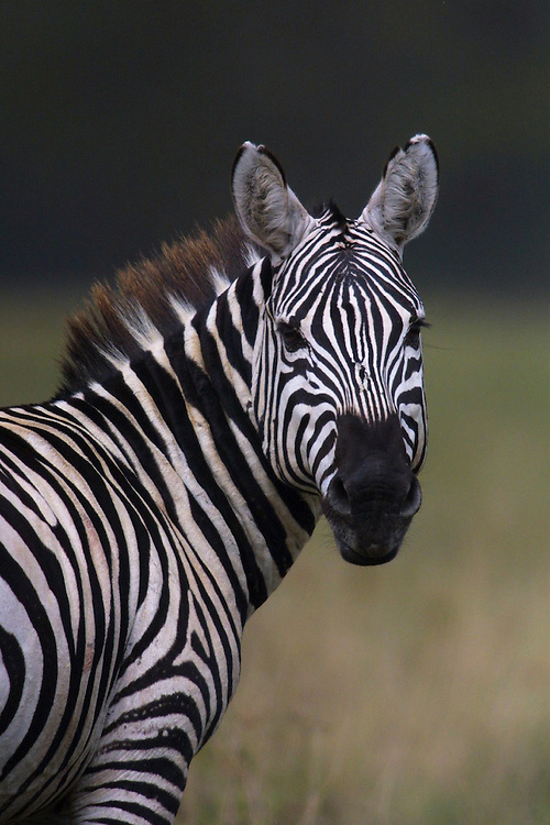 Face of a Plains Zebra in Nakuru National Park, Kenya