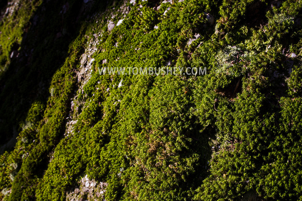 Cornwall, New York - Moss covers rocks on the east side of Schunnemunk Mountain on Jan. 1, 2015.
