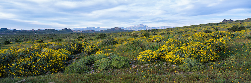 Brittlebush and wildflowers blooming in Lost Dutchman State Park in the Sonoran Desert of Arizona