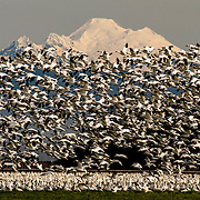 Snow Geese with Mt. Baker