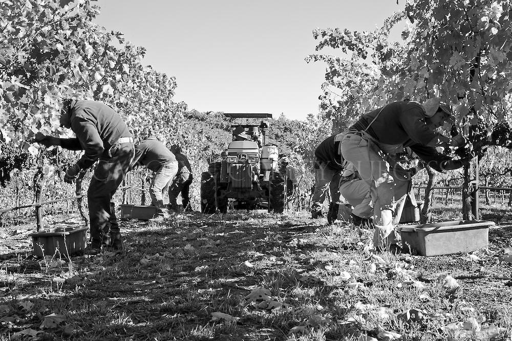 napa valley vineyard workers during harvest