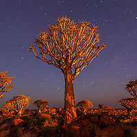 Light painting illuminates the Quiver tree as the sky starts to darken and the stars appear at 10:54 PM