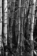 Black and white image of a bamboo stand in Huelo, Maui, Hawaii