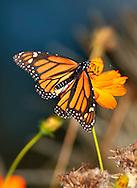 A Monarch Butterfly On An Orange Flower, Danaus plexippus