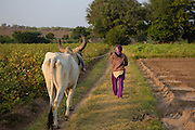 A woman leads her cow home for the evening.