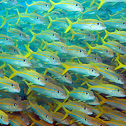 Yellow Goatfish inhabit sand and rubble areas in Tropical West Atlantic; use barbels to dig in sand for food; picture taken Key Largo, FL.