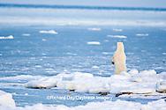 01874-12015 Polar Bear (Ursus maritimus) standing along Hudson Bay in winter, Churchill Wildlife Management Area, Churchill, MB Canada