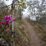 Epidendrum secundum. Wayqecha Biological Reserve on the Eastern slopes of the Peruvian Andes. Cloud forest at 2950 meters elevation. The reserve is managed by the Amazon Conservation Association and the Asociación para la Conservación de la Cuenca Amazónica.