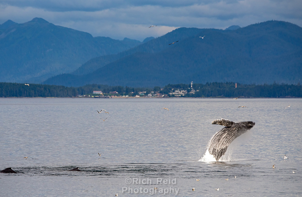 Humpback whale breaching out of the water in Chatham Strait in front of Angoon, Alaska.