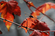 This is a photograph of a dragonfly on autumn leaves from a red maple tree.      It was taken at Daggerwing Nature Center in Boca Raton, Florida.