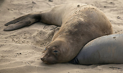 A female elephant seal lounges on the beach at Ano Nuevo State Park in Pescadero, Calif., Friday, March 3, 2017, where the breeding season for Earth's largest pinnipeds is winding down. (Photo by D. Ross Cameron)