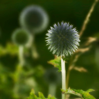 Globe Thistle plant in countryside