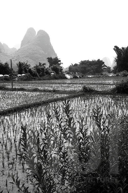 Landscape of rice fields in Yangshuo's countryside
