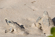 Australian flatback sea turtle hatchlings, Natator depressus emerge from nest, Crab Island, off Cape York Peninsula, Torres Strait, Queensland, Australia