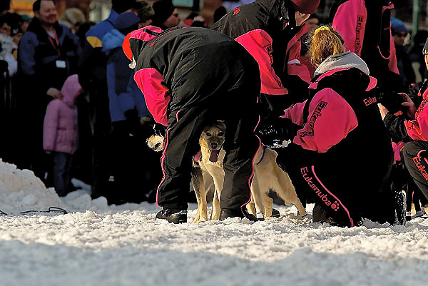 04 March 2006: Anchorage, Alaska - Rick Swensons' team is checked over by his team handlers prior to the 5 time winner of the Iditarod heading out at the Ceremonial Start in downtown Anchorage of the 2006 Iditarod Sled Dog Race