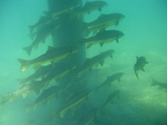 School of Largescale Suckers<br />